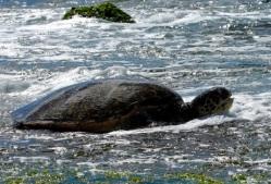 turtle 6810