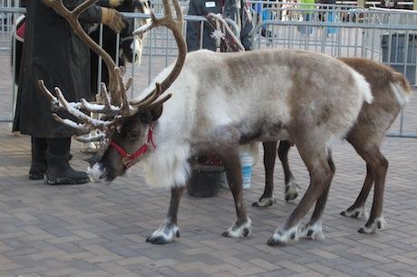 reindeer4.JPG