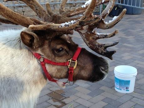 reindeer5.JPG