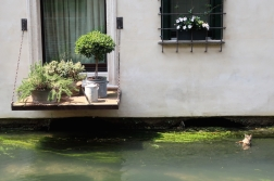 duck in the Canale dei Buranelli Treviso, Italy Date: Thursday June 01, 2017