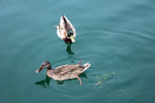 ducks Iseo, Lago d'Iseo, Italy Date: Friday June 09, 2017