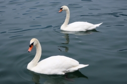 swans Iseo, Lago d'Iseo, Italy Date: Friday June 09, 2017