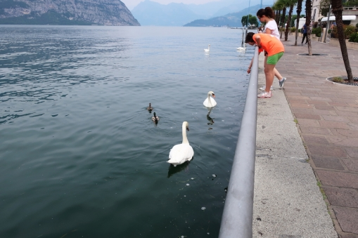 ducks & swans Iseo, Lago d'Iseo, Italy Date: Friday June 09, 2017