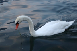 swan Iseo, Lago d'Iseo, Italy Date: Friday June 09, 2017