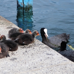 coots Iseo, Lago d'Iseo, Italy Date: Saturday June 10, 2017