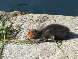 coots Iseo, Lago d'Iseo, Italy Date: Thursday June 08, 2017