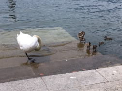 ducks & swan Iseo, Lago d'Iseo, Italy Date: Friday June 09, 2017