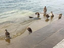 ducks Iseo, Lago d'Iseo, Italy Date: Friday June 09, 2017