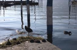 coots Iseo, Lago d'Iseo, Italy Date: Friday June 09, 2017